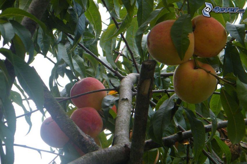 brzoskwinie, drzewo, liście