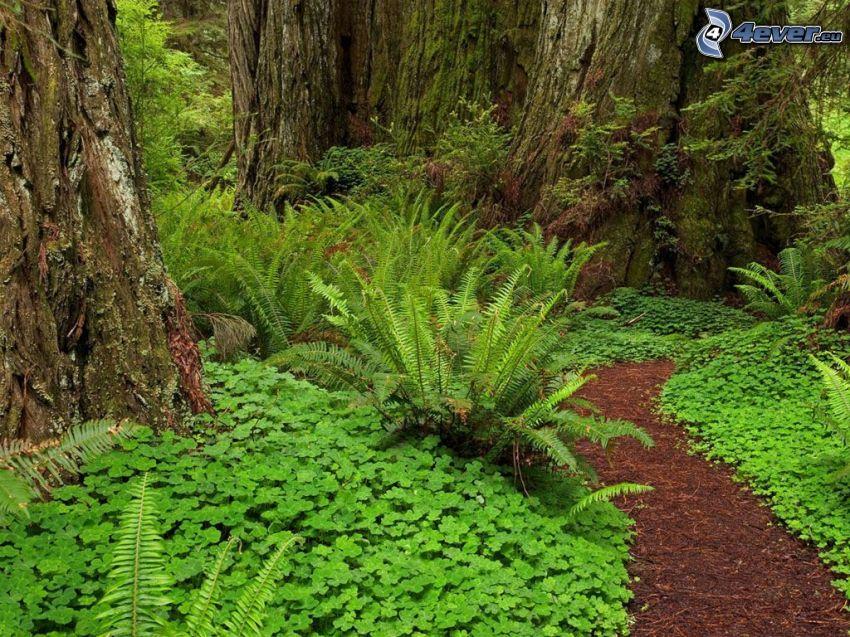 chodnik przez las, sekwoja, paprocie, ogromne drzewa, las