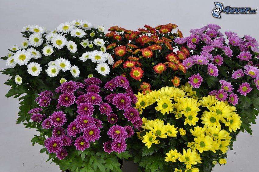 chryzantemy, kolorowe kwiaty