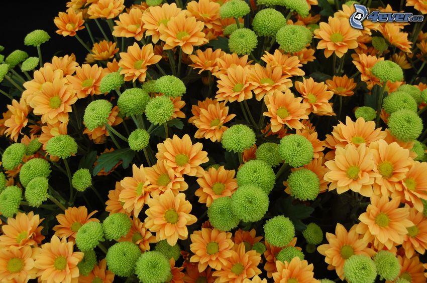 chryzantemy, pomarańczowe kwiaty