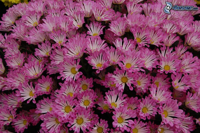 chryzantemy, różowe kwiaty