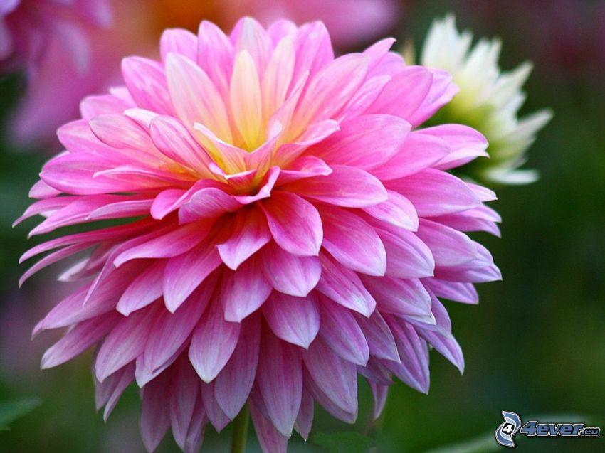 chryzantemy, różowy kwiat