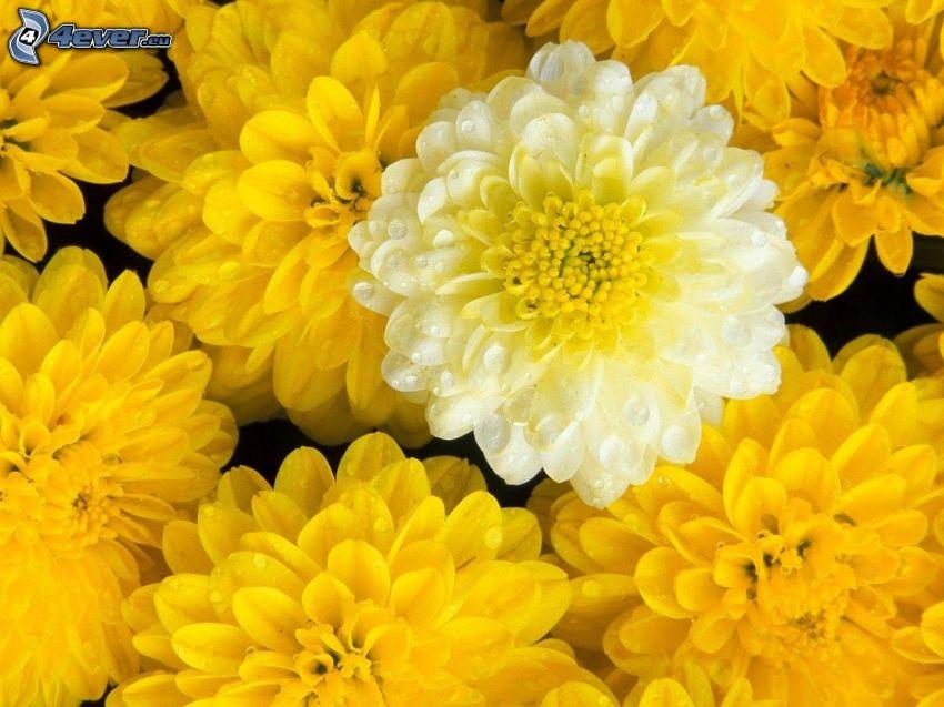 chryzantemy, żółte kwiaty