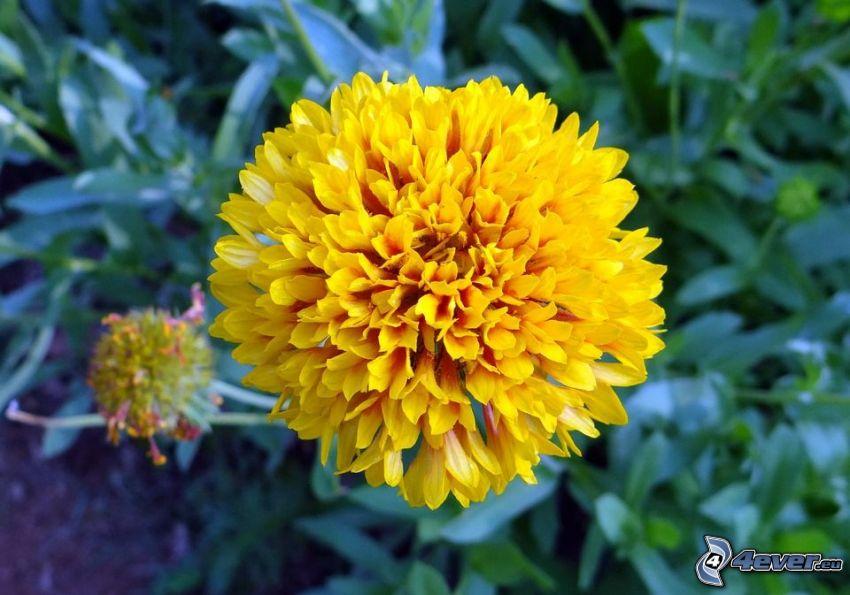 chryzantemy, żółty kwiat