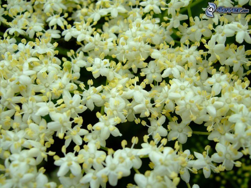 czarny bez, białe kwiaty