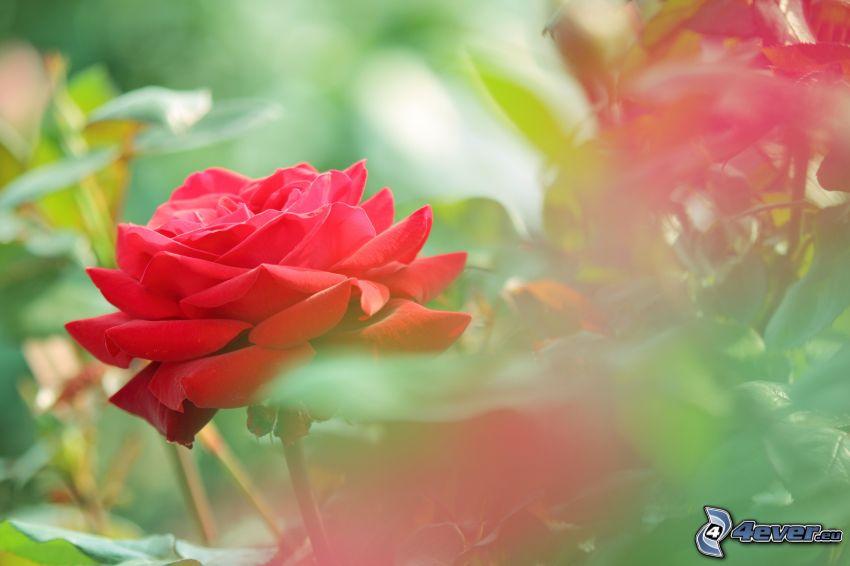 czerwona róża, liście