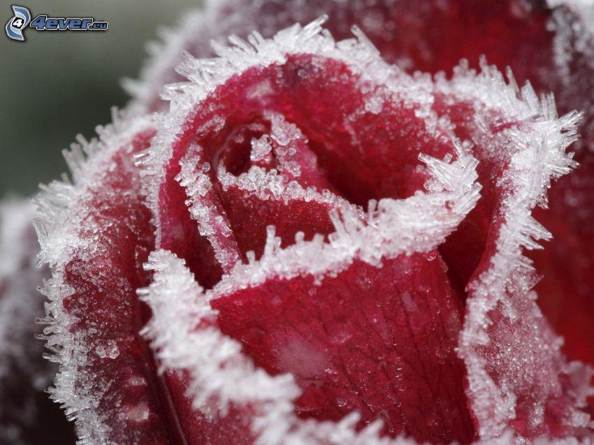 czerwona róża, szron