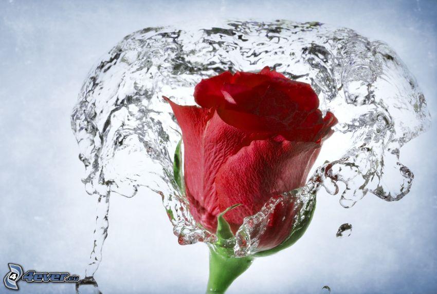 czerwona róża, woda