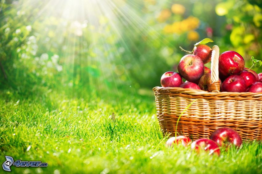 czerwone jabłka, koszyk, promienie słoneczne, trawa