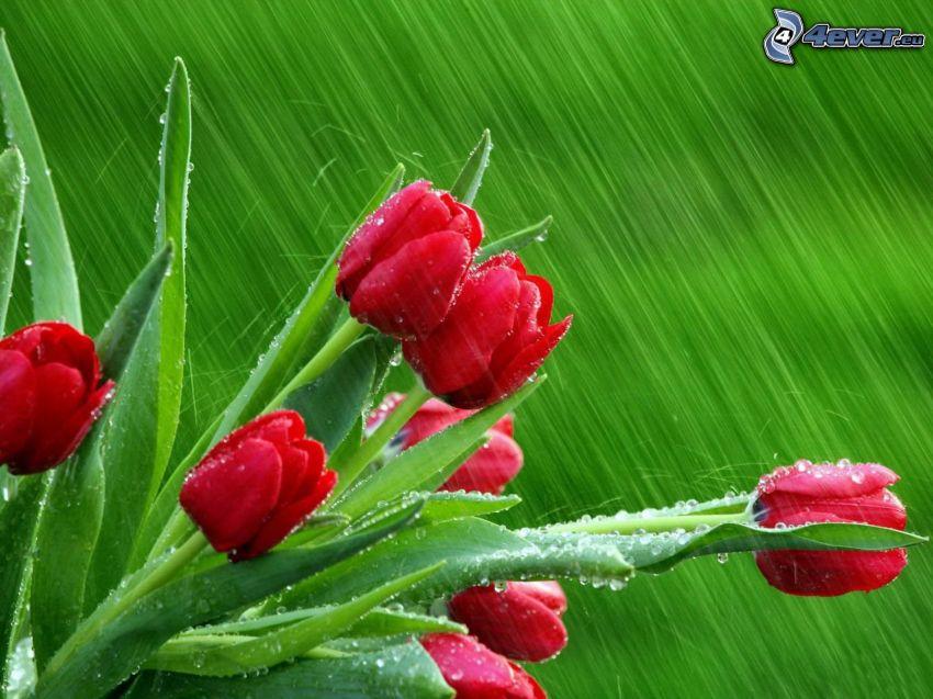 czerwone tulipany, deszcz