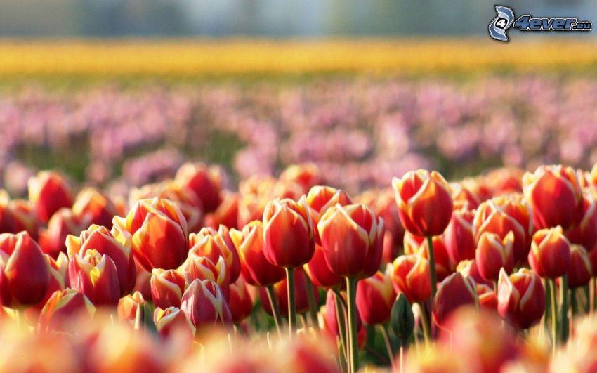 czerwone tulipany, pole