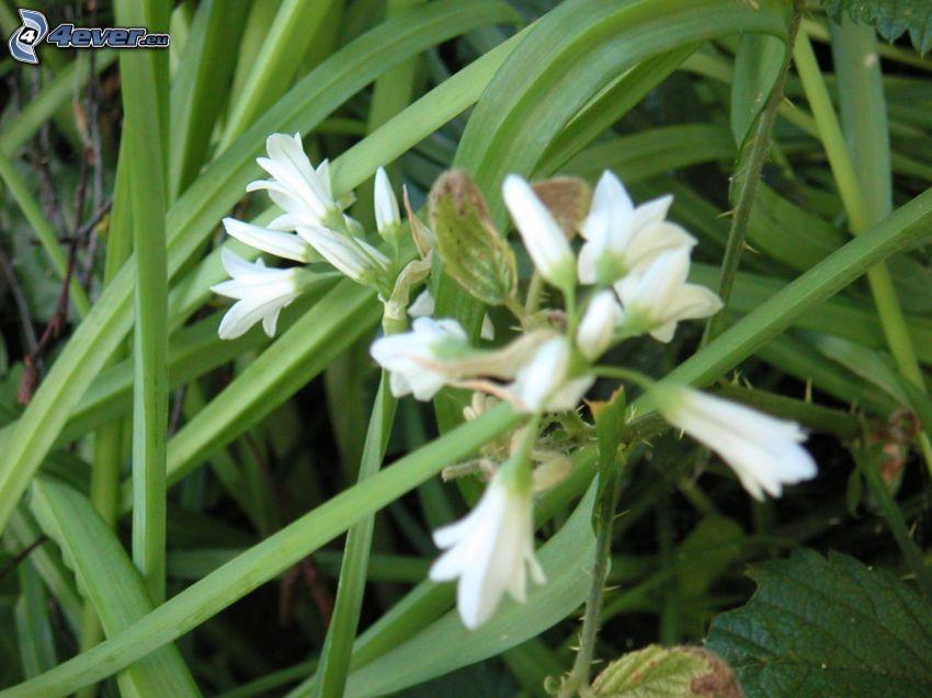 Czosnek niedźwiedzi, białe kwiaty, źdźbła trawy
