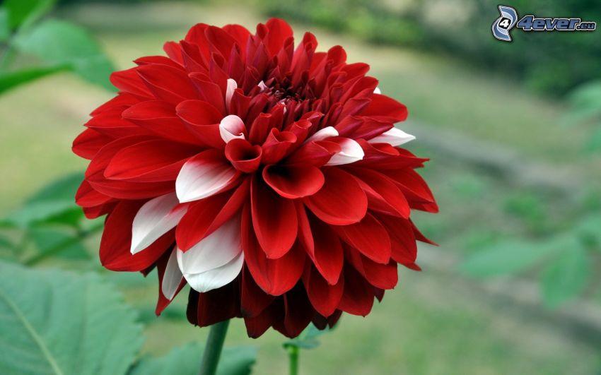dalia, czerwony kwiat
