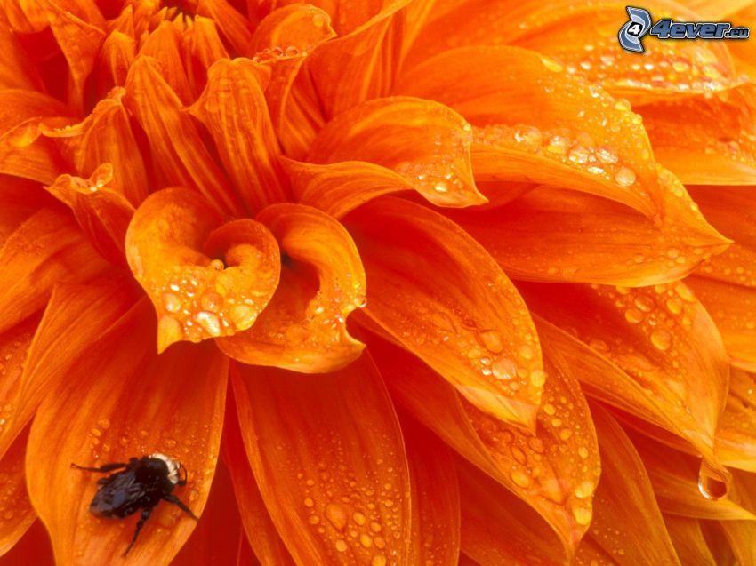 dalia, pomarańczowy kwiat, rosa na liściu, trzmiel