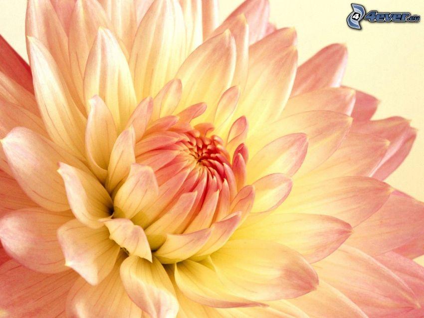 dalia, różowy kwiat