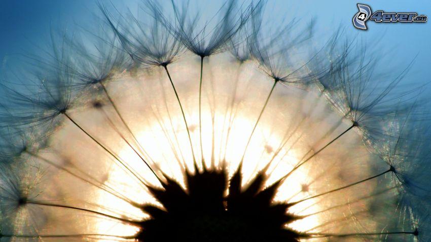 dmuchawiec, słońce