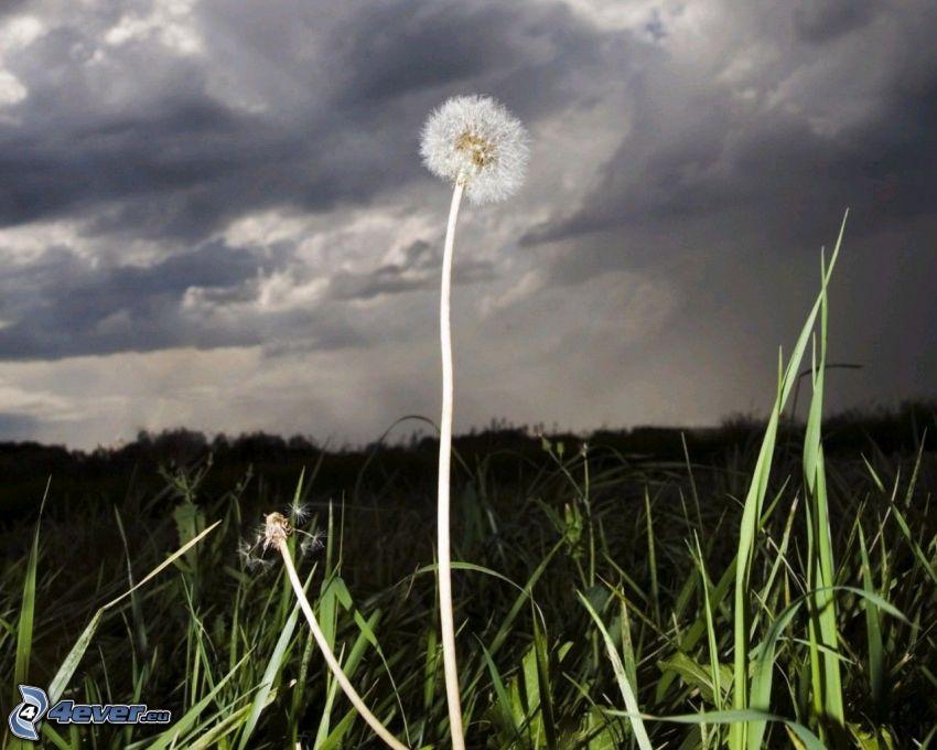 dmuchawiec, trawa, chmury