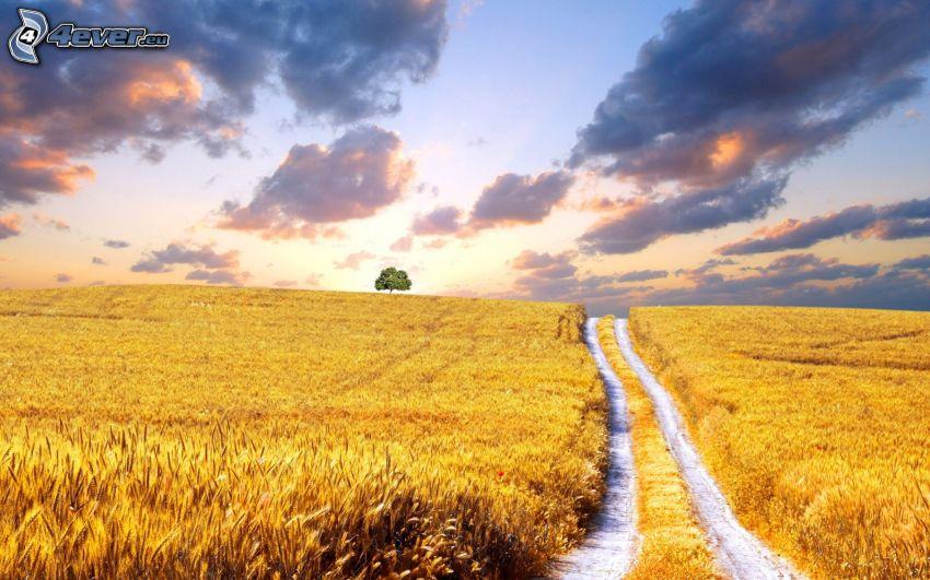 dojrzałe pole pszenicy, polna droga, samotne drzewo, niebo