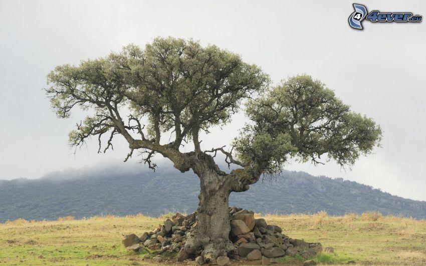 drzewo, kamienie, wzgórze