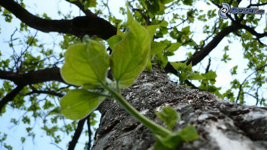drzewo, zielone liście