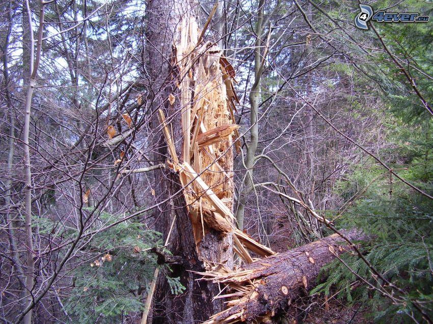 drzewo iglaste, świerk, drewno, las