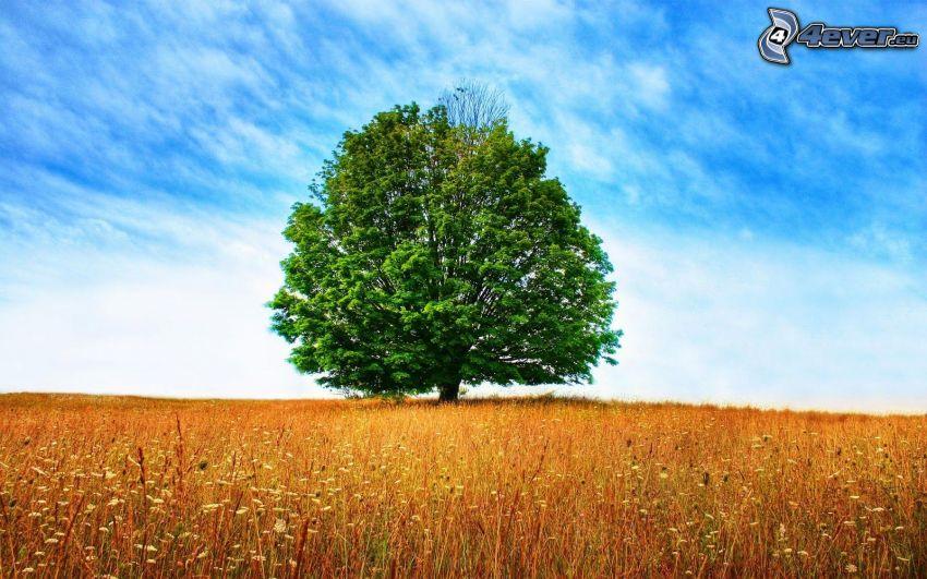 drzewo na łące, samotne drzewo