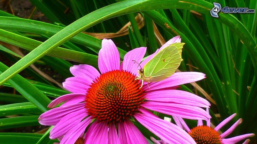 Echinacea, motyl, źdźbła trawy