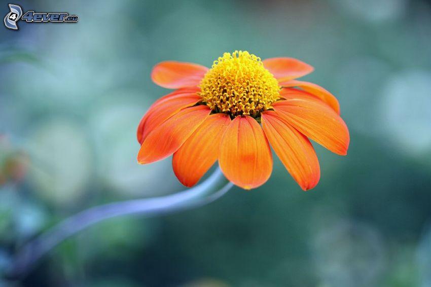 Echinacea, pomarańczowy kwiat