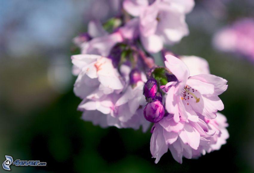 fioletowe kwiaty, kwitnące gałązki