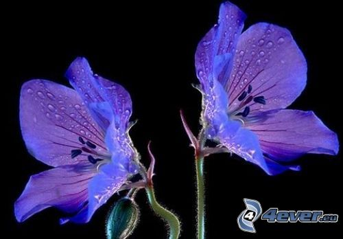 fioletowe kwiaty, zroszony kwiat