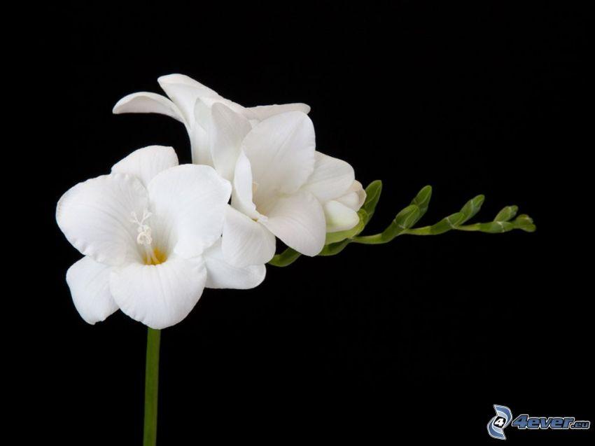 frezje, białe kwiaty