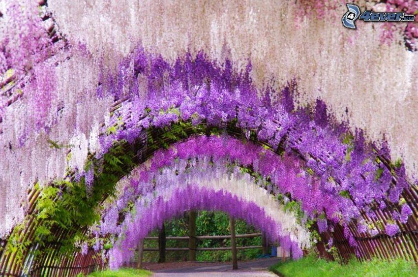 glicynia, fioletowe drzewa, tunel