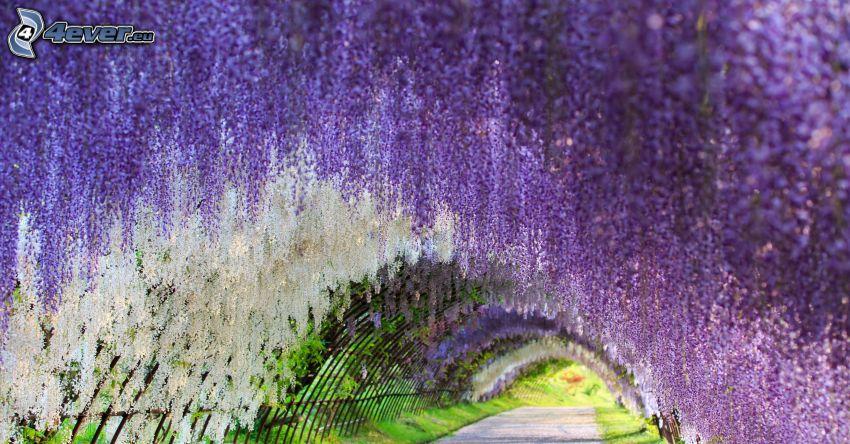 glicynia, fioletowe drzewo, tunel, chodnik