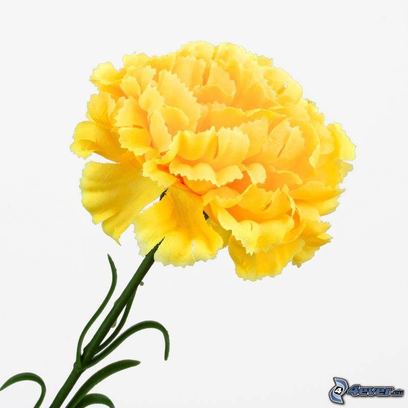 goździk, żółty kwiat