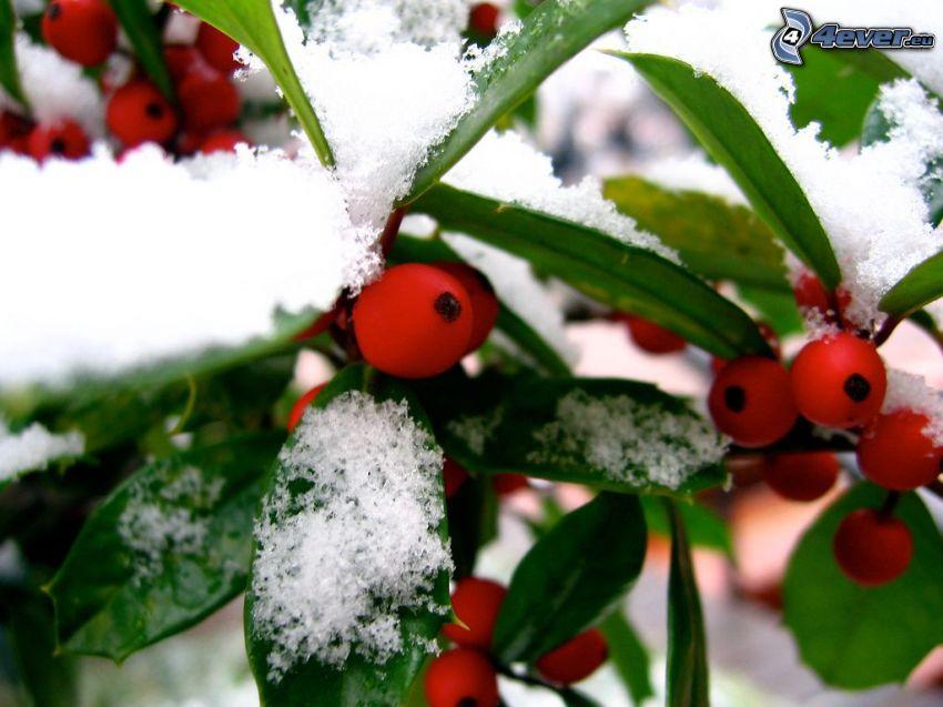 jagody, roślina, śnieg