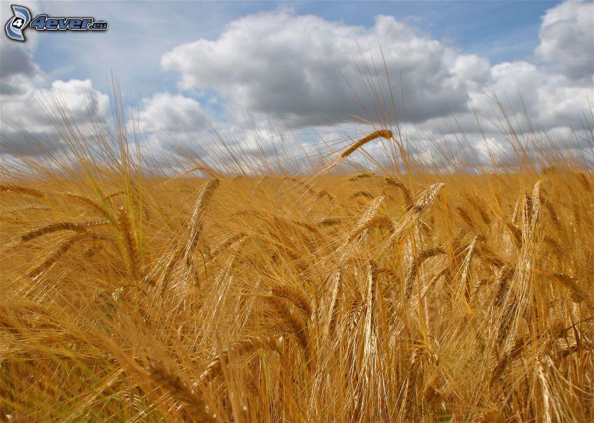 jęczmień, pole, chmury