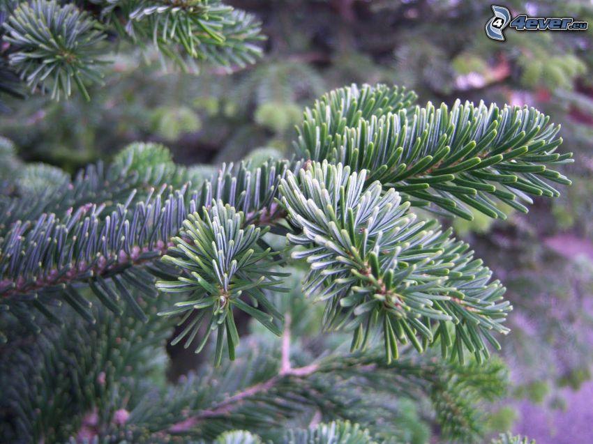 jodła, drzewo, iglaste gałęzie