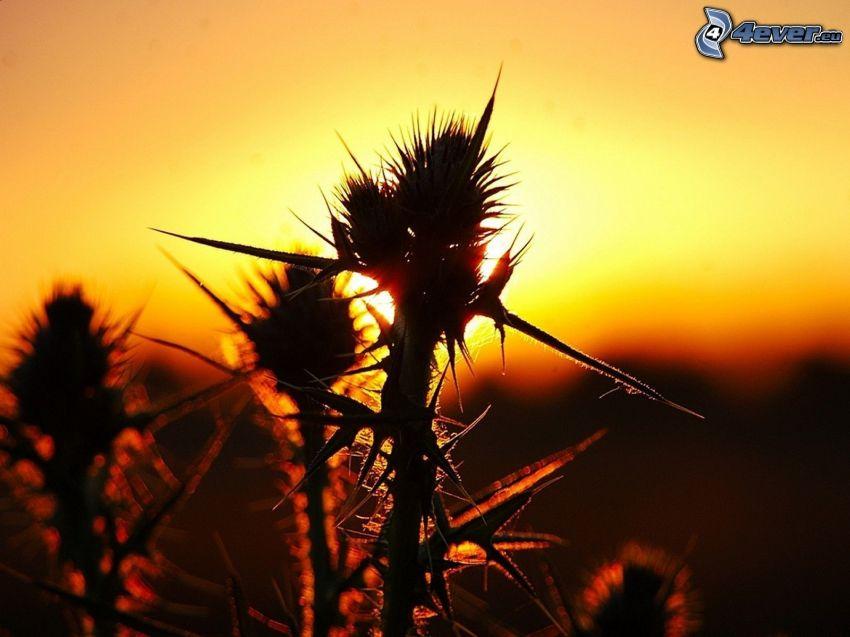 kaktusy, zachód słońca