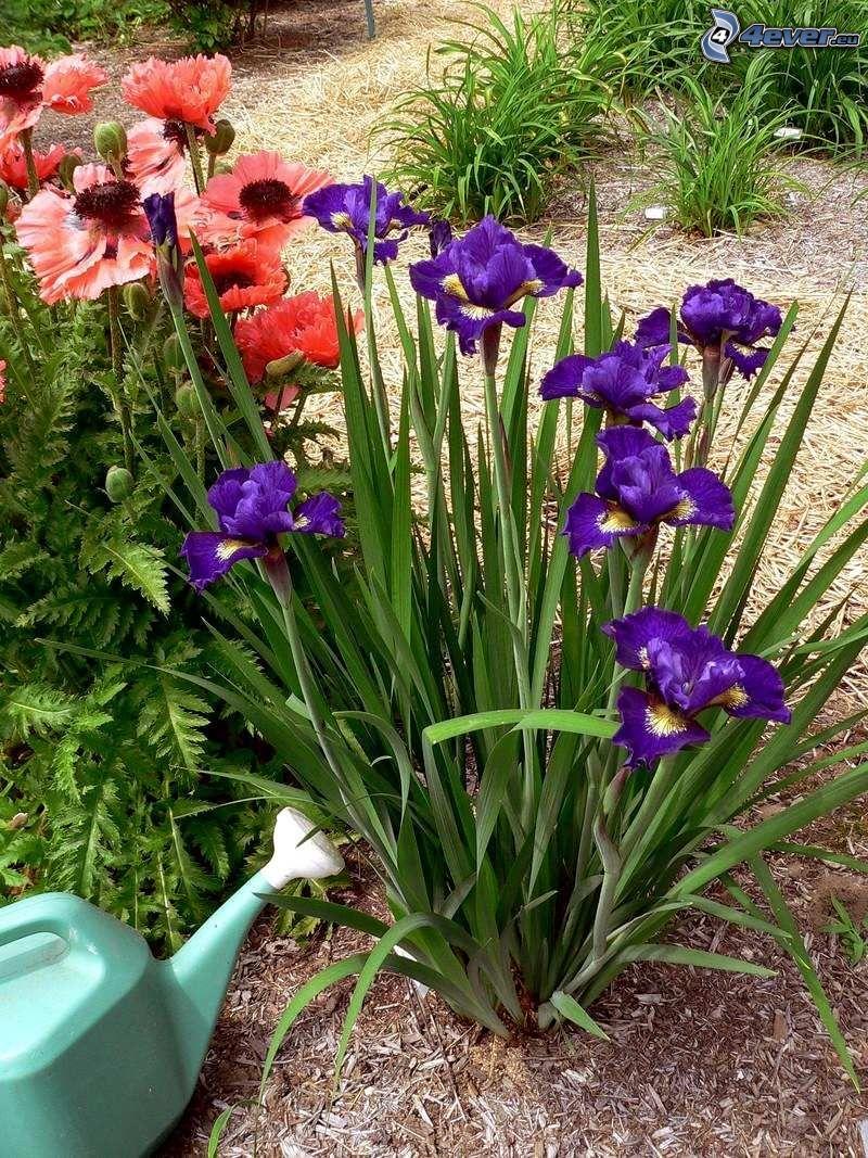 kosaciec syberyjski, fioletowe kwiaty, mak