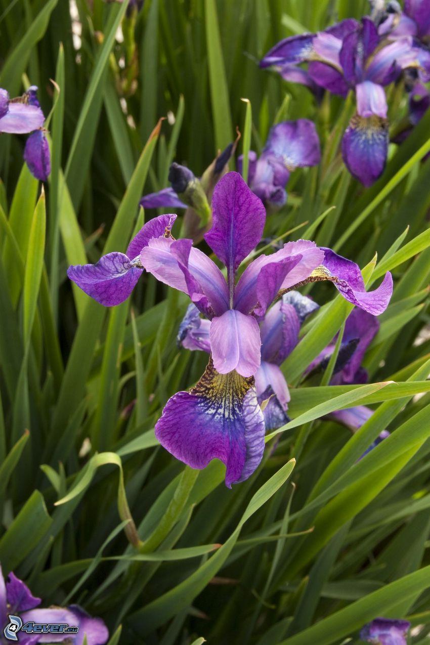 kosaciec syberyjski, fioletowe kwiaty, trawa