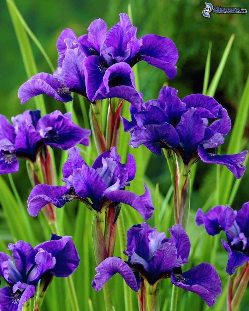kosaciec syberyjski, fioletowe kwiaty