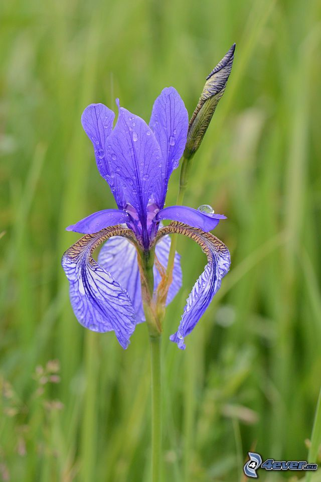 kosaciec syberyjski, fioletowy kwiat