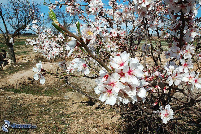 kwitnące drzewa, białe kwiaty
