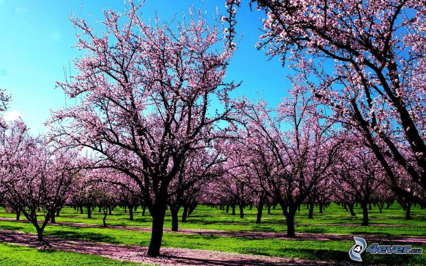 kwitnące drzewa, sad, fioletowe kwiaty