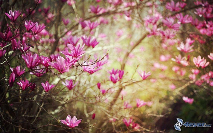 kwitnące drzewo, różowe kwiaty