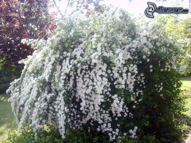 kwitnące krzewy, białe kwiaty