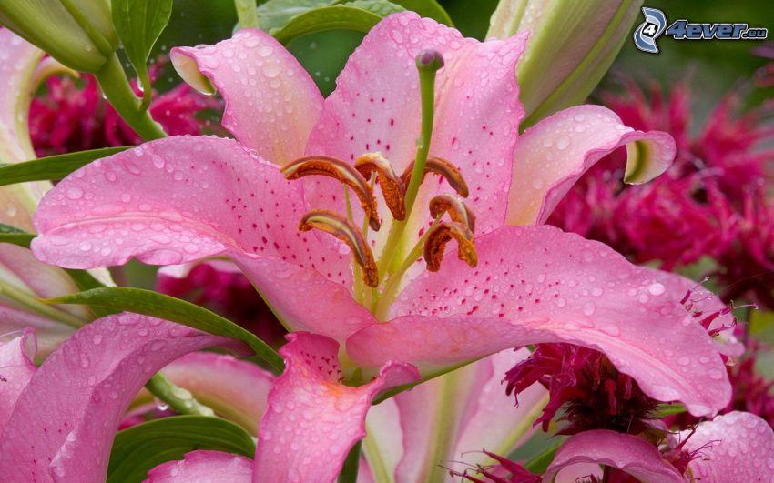 lilie, różowe kwiaty