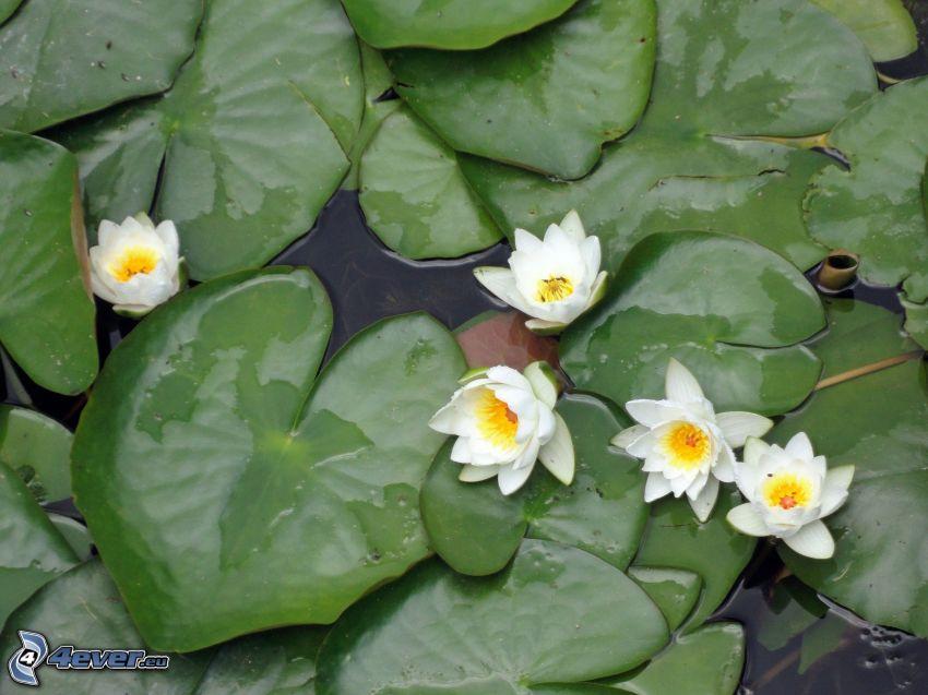 lilie wodne, białe kwiaty