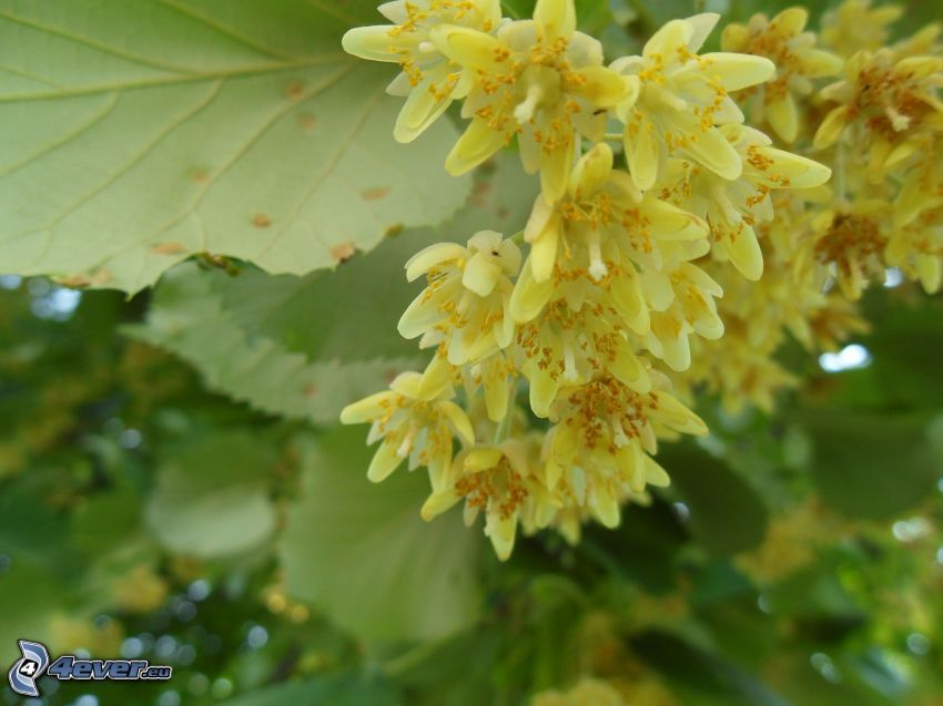 lipa, żółte kwiaty