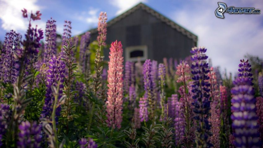 łubin, fioletowe kwiaty, domek